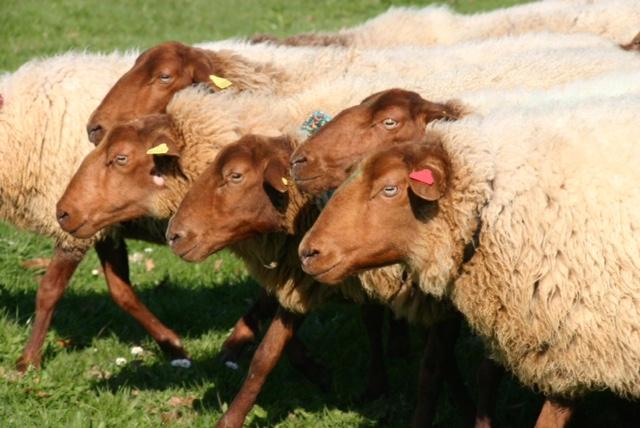 Transhumance - La vie de berger et son troupeau