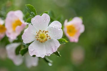 Tout savoir sur les rosacées