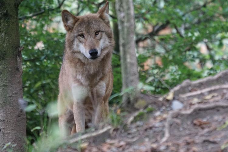 """Atelier halloween 7 - 12 ans """"Sur les traces du loup"""" Jeudi 31 octobre"""